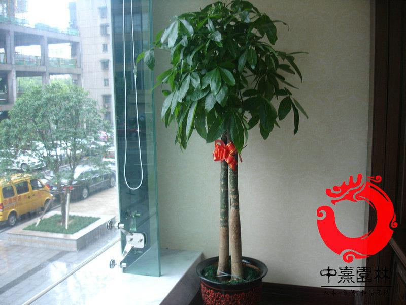 三杆发财树 - 室内植物租摆
