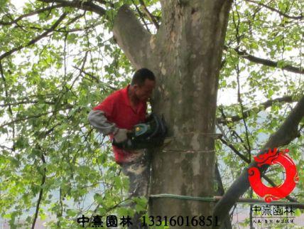 树木修剪养护2 - 园林绿化养护